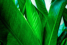 Tropical Leaves, Large Green Foliage In Jungle For Background, Dark Blue Toned