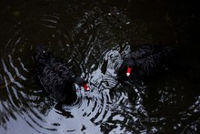 High Angle Shot Of Two Black Ducks Swimming In The Lake