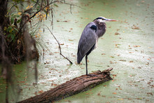 Blue Heron Standing In Swamp