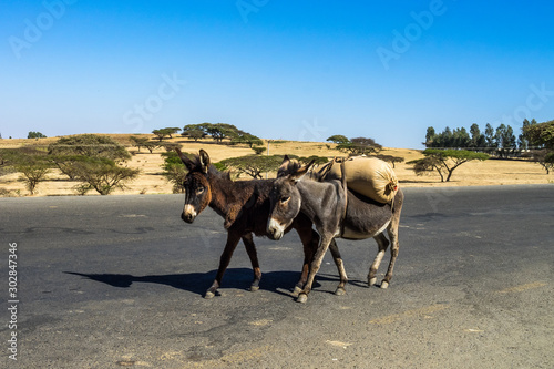 Foto op Canvas Ezel Donkeys on the road from Gondar to the Simien mountains, Ethiopia, Africa