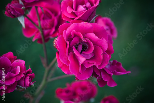Purple roses, macro photo of garden flowers