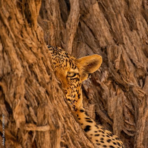 Female Leopard Wall mural