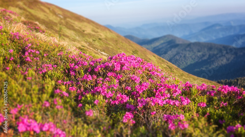 Fototapeta  Blossoming pink rhododendron flowers on the high mountain slope