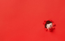 Cute White Mouse On Red Backgr...