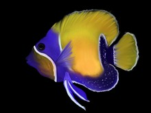 Tropical Yellow Fish With Violet Details