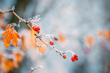 Hawthorn (Crataegus) Berries O...