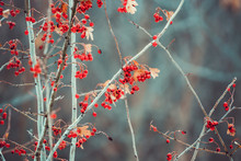 Red Hawthorn Fruit (Crataegus)...