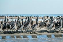 Pelican Colony Many Birds In Baja California