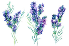 Set Watercolor Lavender Flowers Illustration On Isolated White Background