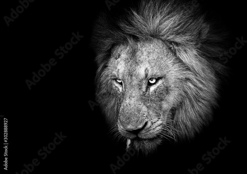 Fotomural  Black and White Male Lion on a black background
