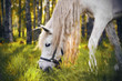 canvas print picture - A beautiful white horse with a long tangled mane grazes and eats grass in the middle of a birch grove, illuminated by the rays of the sun shining through the trees.