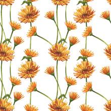 Calendula Or Daisy Flower.Wate...