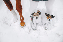Two Jack Russell Terriers Stand On Feet Of His Owner