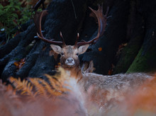 Fallow Deer In The Autumn