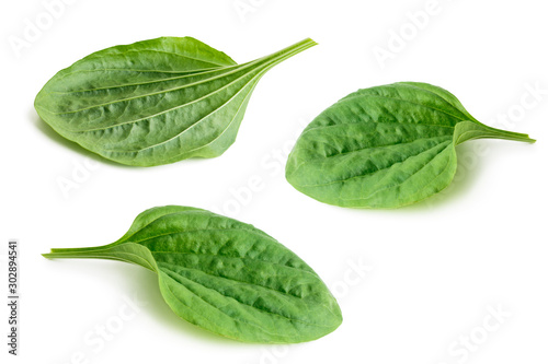 Fotomural Set of great plantain, plantago major medicinal plant isolated on white backgrou