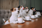 Fototapeta Zwierzęta - Four jack russell terriers sitting in front of cups