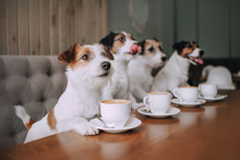 Four Jack Russell Terriers Sit...