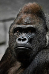 Portrait of a powerful dominant male gorilla , stern face.