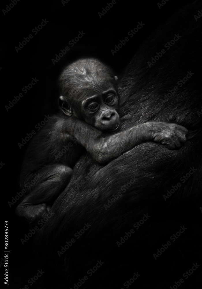 Fototapety, obrazy: sad little cub. little gorilla kid clings to mother's coat. isolated black background.