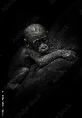 sad little cub. little gorilla kid clings to mother's coat. isolated black background. - 302895773
