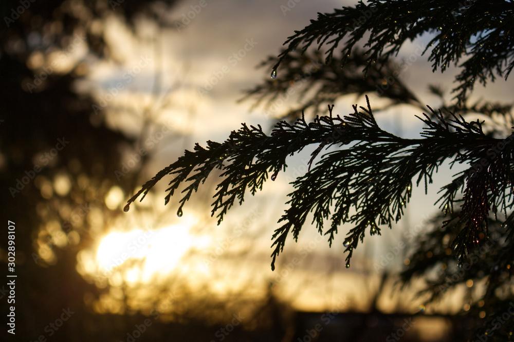 Hang Nutka Cypress at sunset with raindrops