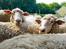 Portrait Of Sheep In Front Of Blue Background