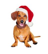 Dachshund Dog With A Santa Hat...