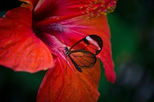 Closeup Of A Butterfly Sitting On A Red Flower