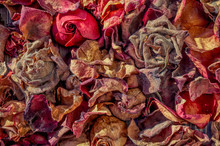 Dry Rose Petals. Withered Autumn Flowers