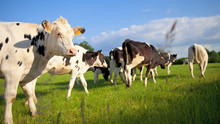 Tourpeau De Vache Race Laitiè...
