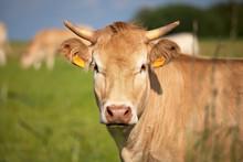 Tourpeau De Vache Race à Viande. Blonde D'Aquitaine En Campagne. France