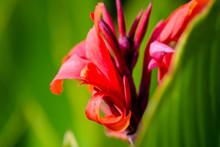 Red Canna Lilies At Summer Gar...