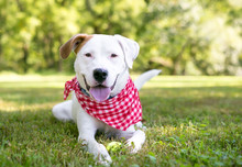 A White Retriever Mixed Breed Dog With Brown Markings Wearing A Red And White Checkered Bandana And Relaxing In The Grass