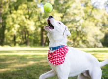 A White Retriever Mixed Breed Dog With Brown Markings Wearing A Red And White Checkered Bandana, Catching A Ball In The Air
