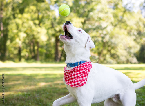 Fotografia, Obraz  A white Retriever mixed breed dog with brown markings wearing a red and white ch