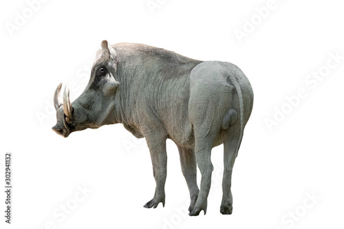 warthog on white background Wallpaper Mural