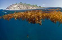 Algue Sargasse Antilles Caraibe