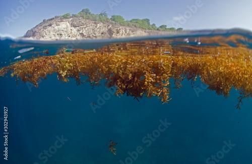 Photo algue sargasse antilles caraibe