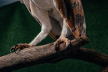 Close Up View Of Wild Barn Owl Claws On Wooden Branch On Green Background