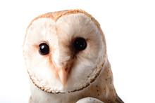 Cute Wild Barn Owl Muzzle Isolated On White