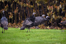 A Flock Of Turkeys Walk Through A Field Of Green Grass Next To A Forest On A Cool Fall Afternoon