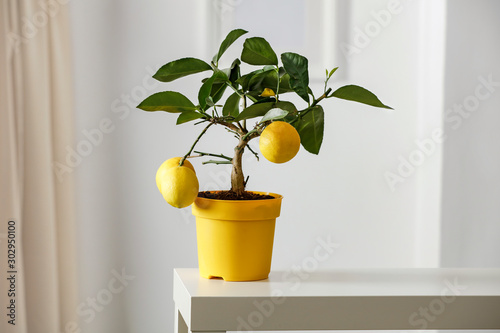 Stampa su Tela Lemon tree in yellow flowerpot in bright white colors with picture frame with blurred white wall background