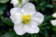 White Hellebore Flower Macro O...