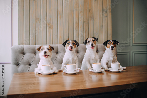 Four jack russell terriers sitting in front of cups Canvas Print