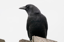 Close Up Of A Crow Isolated Ag...
