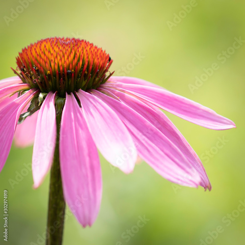 Echinacea purpurea (Asteraceae) is a perennial medicinal herb with important immunostimulatory and anti-inflammatory properties, especially the alleviation of cold symptoms Canvas Print