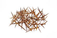Sharp Spikes Of Wild Acacia On...