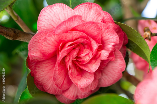 Photographie Pink flower of camellia in a arden during spring
