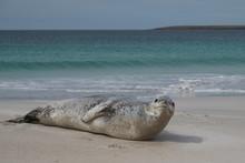 Leopard Seal (Hydrurga Leptonyx) Resting On A Sandy Beach Bleaker Island In The Falkland Islands.