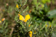 Gorse Flower In The Spring